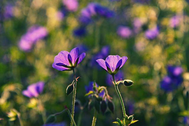 Die ersten Blüten des Storchschnabels zeigen sich meist im Juni oder Juli.