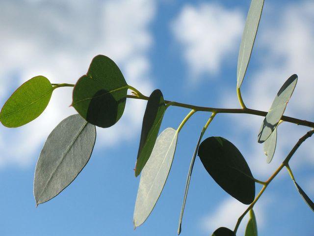 Aus der frischen Eukalyptuspflanze kann bakterien- und pilzabtötendes Öl gewonnen werden.