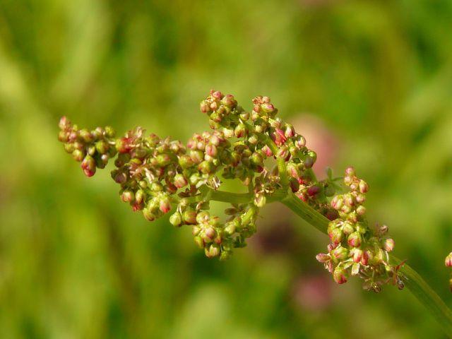 Sauerampfer ist eine unkomplizierte Pflanze