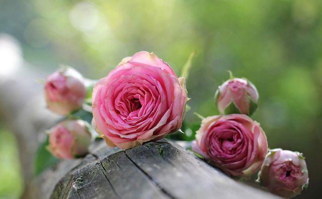 Keine Biene mag gefüllte Rosen.