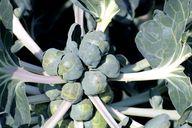 Eine Pflanze bringt bis zu 40 Röschen hervor, die für den Rosenkohlsalat genutzt werden.