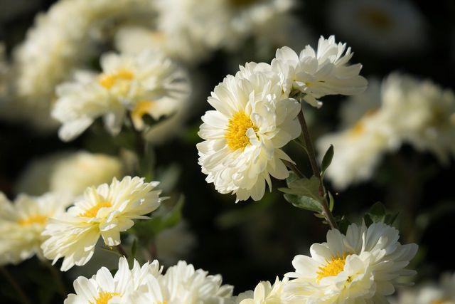Gefüllte Chrysanthemen wie die Garten-Chrysanthemen solltest du Bienen zuliebe besser nicht pflanzen.