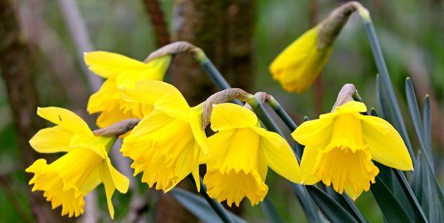 Narzissen pflanzt du am besten im Spätherbst. Sie blühen schon ab Februar.