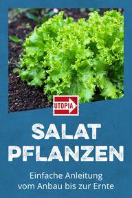 Salat pflanzen: Einfache Anleitung vom Anbau bis zur Ernte