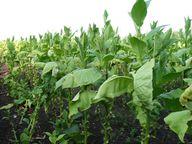 Neonikotinoide sind künstlich hergestellte Wirkstoffe der Tabakpflanze.