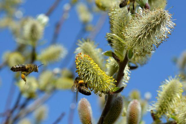 Palmkätzchen zählen zu den ersten Nahrungsquellen der Bienen im Frühling.