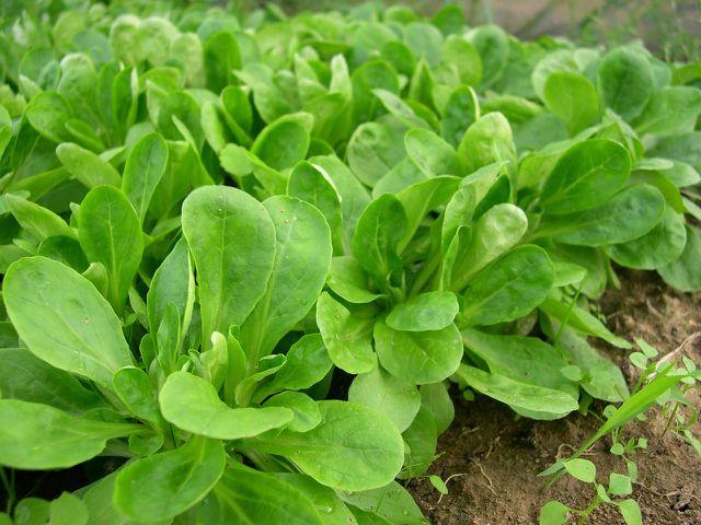 Feldsalat ist gesund, weil er viele Vitamine und Nährstoffe enthält.