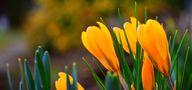Krokusse gelten als Verkünder des Frühlingsanfangs 2018