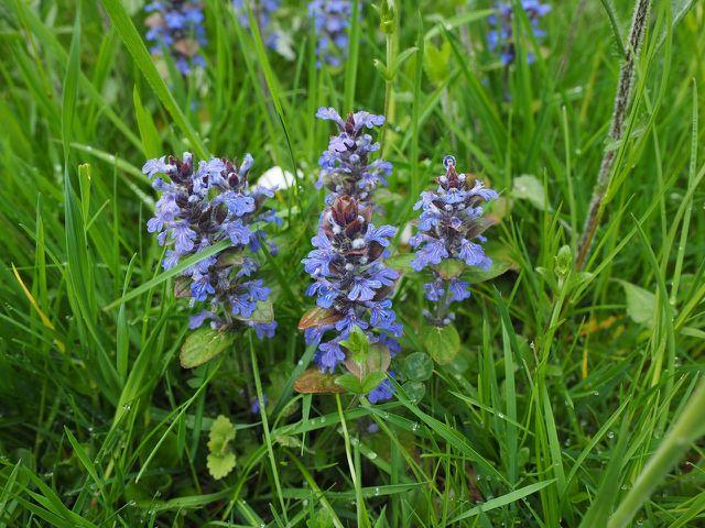 Kriechender Günsel gilt auch als Heilpflanze.