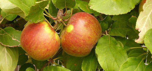 Santana Apfel