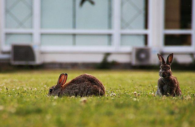 Feldhasen sind normalerweise sehr scheue Tier, weshalb sie sich selten in Gärten verirren.