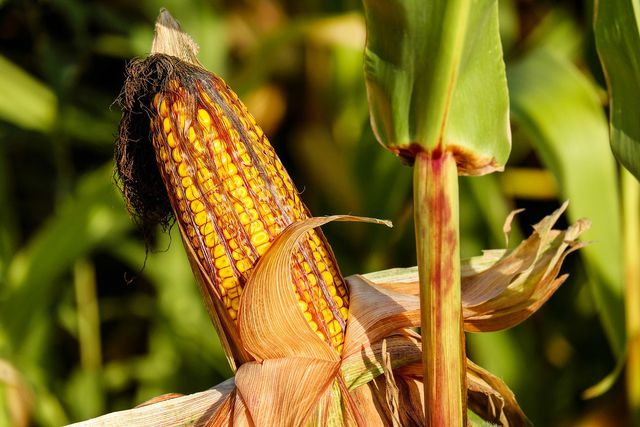 Ein Maiskolben kann bis zu 400 Körner enthalten