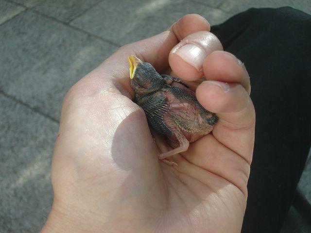Du kannst Jungvögel vorsichtig mit der Hand aufnehmen.