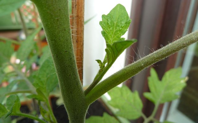 Growing tomatoes in pots side shoot sprout pruning plant care
