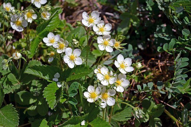 Erdbeerpflanzen mit vielen Blüten sind gut dafür geeignet, aus ihren Senkern neue Pflanzen zu ziehen.