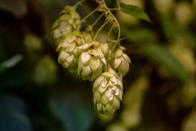 Hopfen ist eine wichtige Nahrungsquelle für die Raupen des Tagpfauenauges.