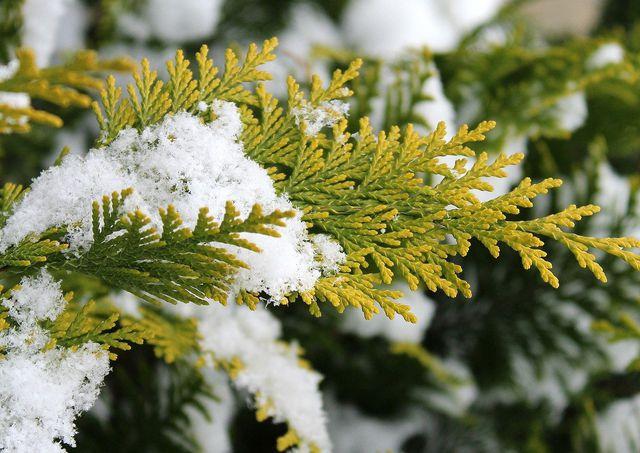 Thuja ist winterhart.