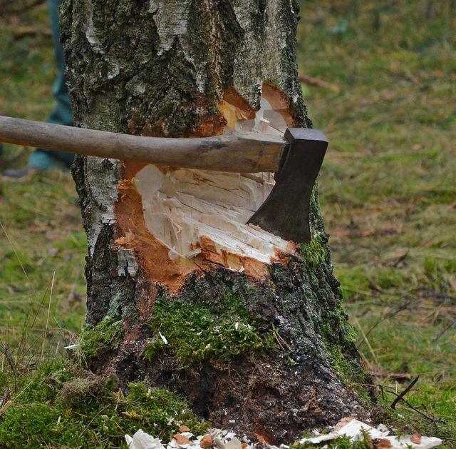 Manchmal müssen betroffene Bäume gefällt werden.