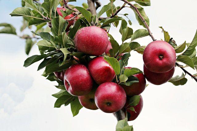 Verwende für deinen Apfel-Käsekuchen möglichst regionale Äpfel.