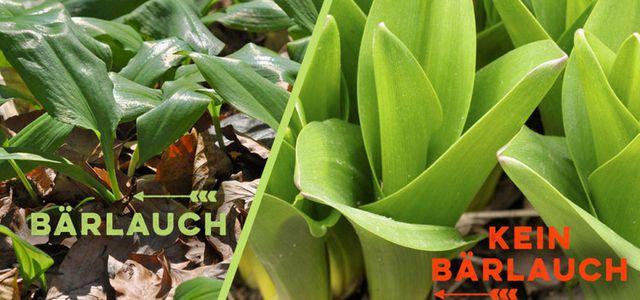 baerlauchbluete giftig