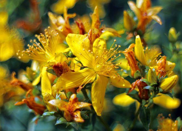 Das Johanniskraut (Hypericum Perforatum) ist eine wirksame Heilpflanze gegen Angstzustände.