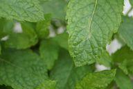 Für Kräuterzigaretten wird zum Beispiel Pfefferminze verarbeitet.