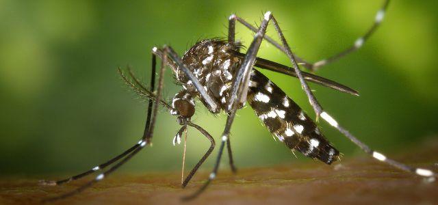 Mücke, Asiatische Tigermücke