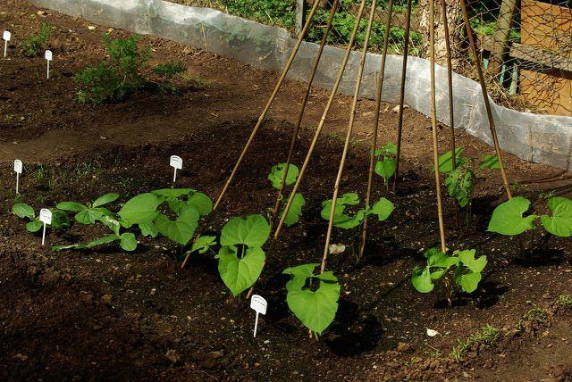 Mit der richtigen Pflege werden die Bohnenpflanzen stark und ertragreich.