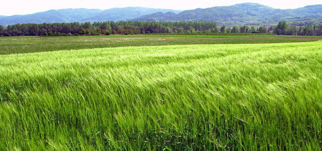 Phosphor als Bestandteil von Düngemitteln / Weizen Weizenfeld Seitan