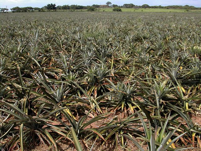 Ananasplantage in Mexiko