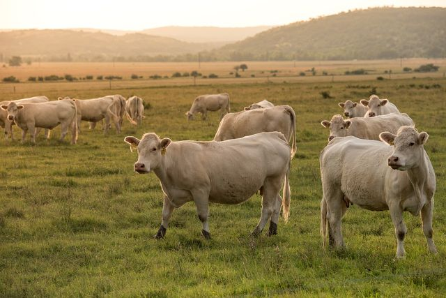 In Bio-Betrieben muss den Milchkühen ein Weidegang oder genügend Auslauf garantiert werden.