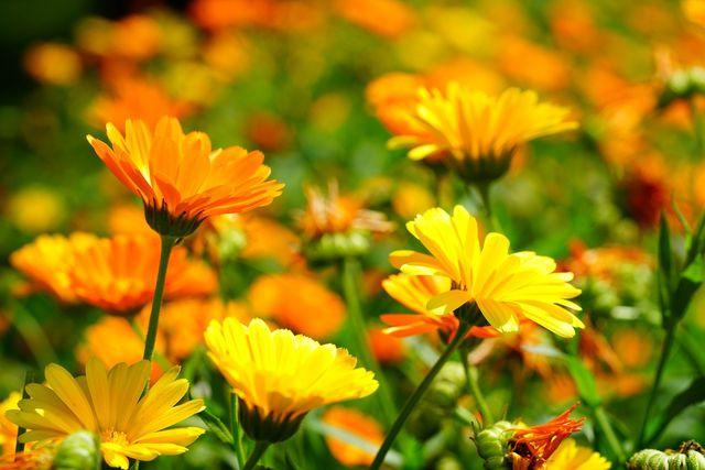 Aus Ringelblumen (Calendula Officinalis) kannst du ganz leicht eine Heilsalbe herstellen.