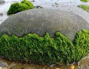 Energiegewinnung aus Algen