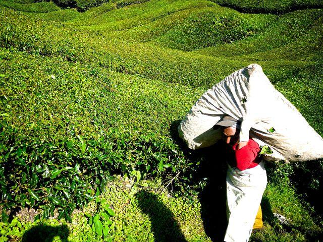 Die Arbeitsbedingungen auf vielen Tee-Plantagen sind sehr schlecht.