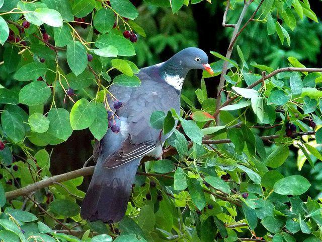 Die Früchte der Felsenbirne sind besonders bei Vögeln sehr beliebt.