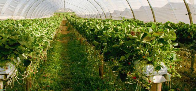 Erdbeeren und Wasserverbrauch