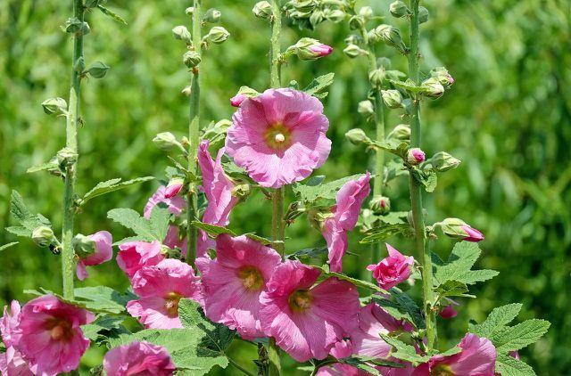 Um Stockrosen zu pflanzen, kannst du zum Beispiel Saatgut verwenden.