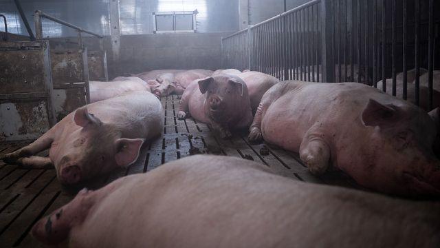 Schweinezucht, Viehzucht, Schweine, Schweinefleisch, Fleisch, Massentierhaltung
