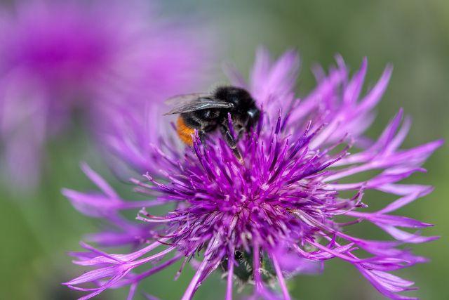 Schaffe in deinem Garten für Wildbienen ein Rückzugsort mit den passenden Pflanzen.