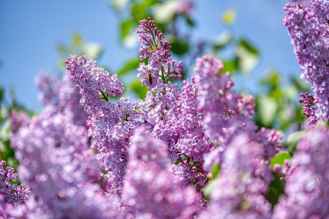 Fliedersirup kannst du daus den Blüten des Gemeinen Flieders zubereiten.