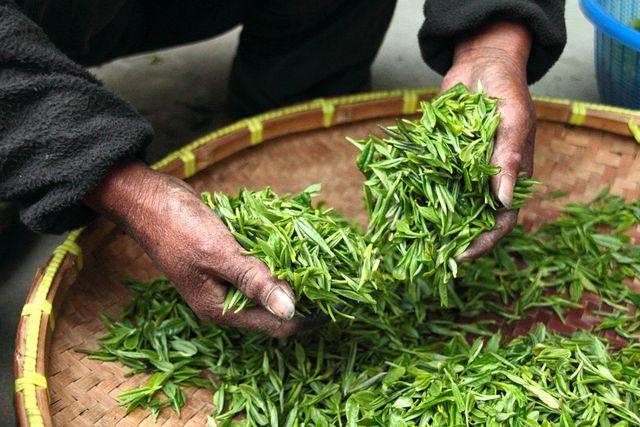 Oolong Tee wird ausschließlich per Handpflücke geerntet.