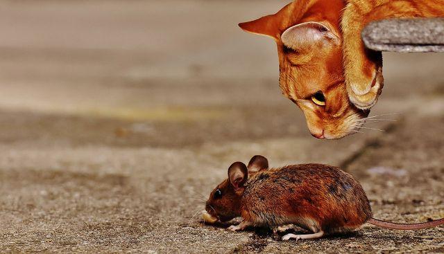 Katze frisst Maus - die natürlichste Ernährung.