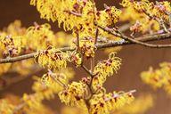 Hamameliswasser wird aus den Blättern und/oder Zweigen des Hamamelis-Strauchs gewonnen.