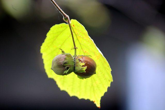 Ernte Haselnüsse erst, wenn sich die Blatthüllen braun gefärbt haben.