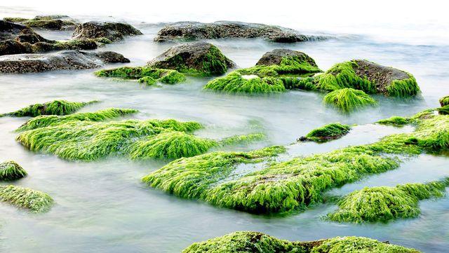 Algenkalk wird aus Algenablagerungen gewonnen.