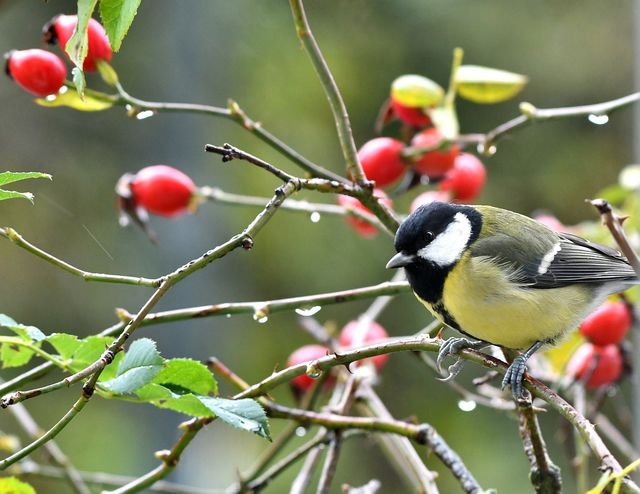 Wenn du Vögeln zusätzliche Nahrung bieten willst, lohnt es sich, Hagebutten im Garten zu pflanzen.