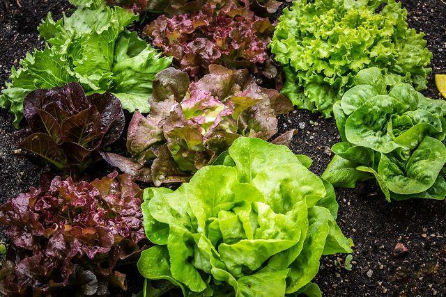 Wenn du Wraps selber machen willst, gehört etwas frischer Salat auf jeden Fall dazu.