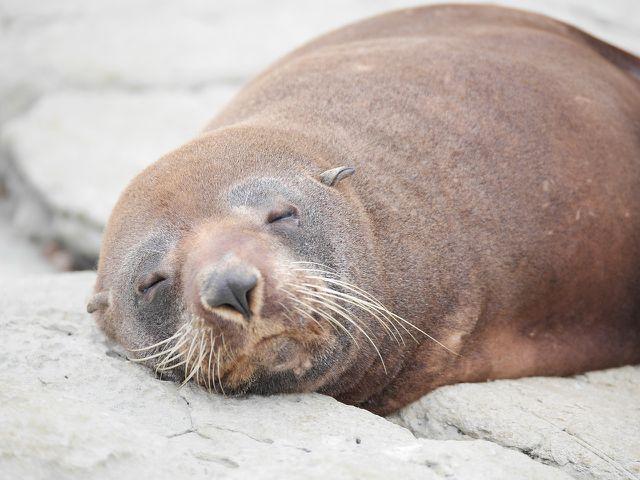 Zu den vom Aussterben bedrohten Tieren gehört auch der Neuseeländische Seelöwe.