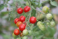 Achte bei den Zutaten für die Focaccia Barese auf Bio-Qualität.