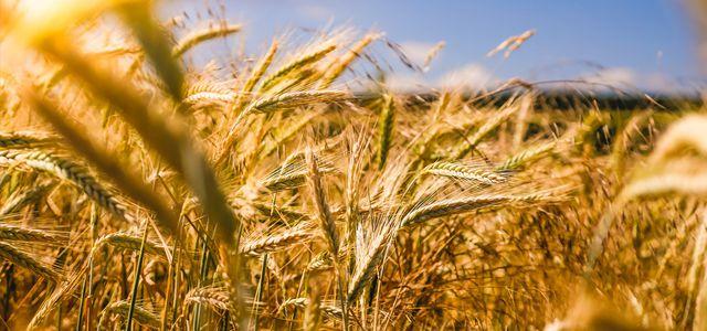 regenerative Landwirtschaft – Getreidefeld